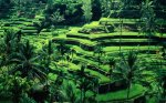 Contour terraces in Bali, Indonesia. Image credit: www.visitbalitoday.com