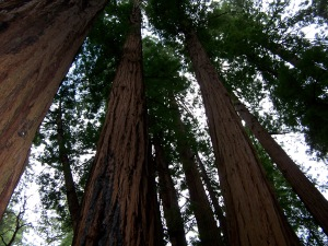 California redwoods, John Muir Woods, USA