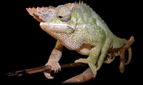 West Usambara two-horned chameleon.  image credit: http://mitschis-chamaeleons.de/