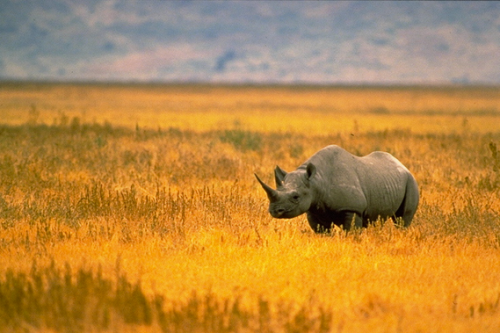 Western Black Rhino -R.I.P. (Image credit: www.skullappreciationsociety.com)